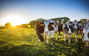Several cows in a field with a sunset behind